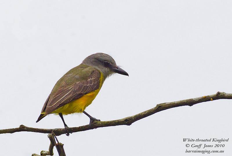White-throated Kingbird