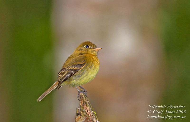 Yellowish Flycatcher Empidonax flavescens Bosque De Paz Costa Rica March 2008 CR-YEFC-01