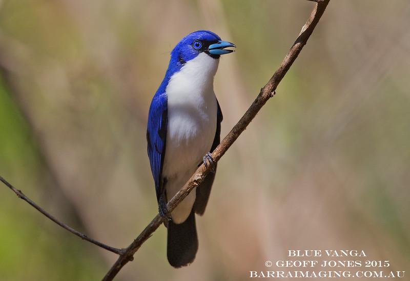 Blue Vanga male