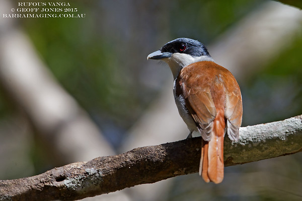 Rufous Vanga female