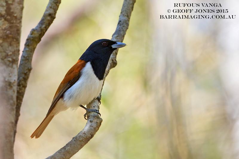 Rufous Vanga male