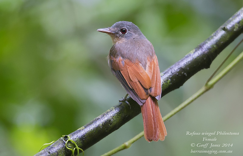 Rufous-winged Philentoma female