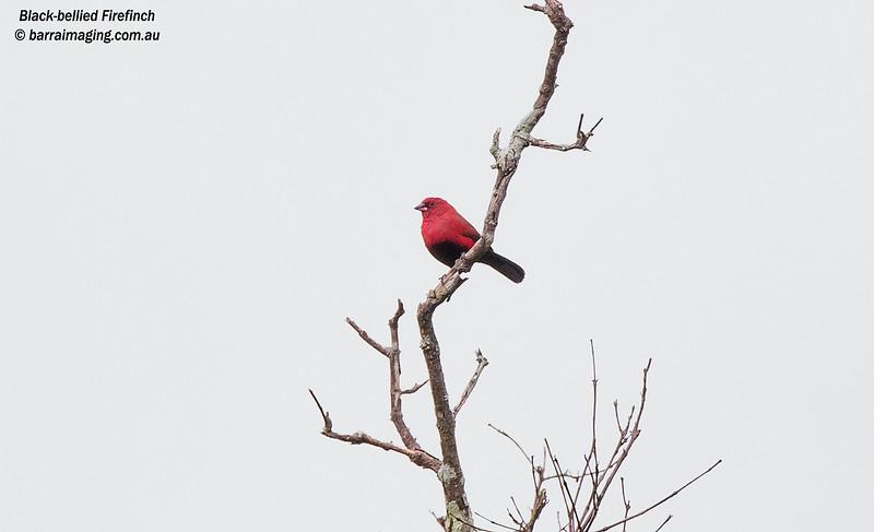 Black-bellied Firefinch
