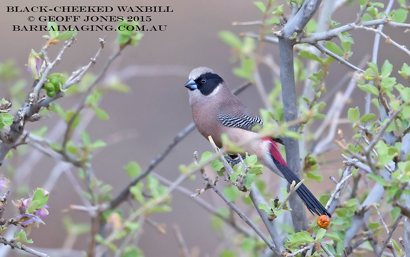 Black-cheeked Waxbill