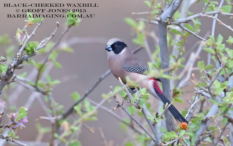 Black-cheeked Waxbill