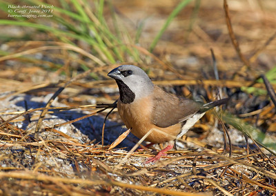 Black-throated Finch imm