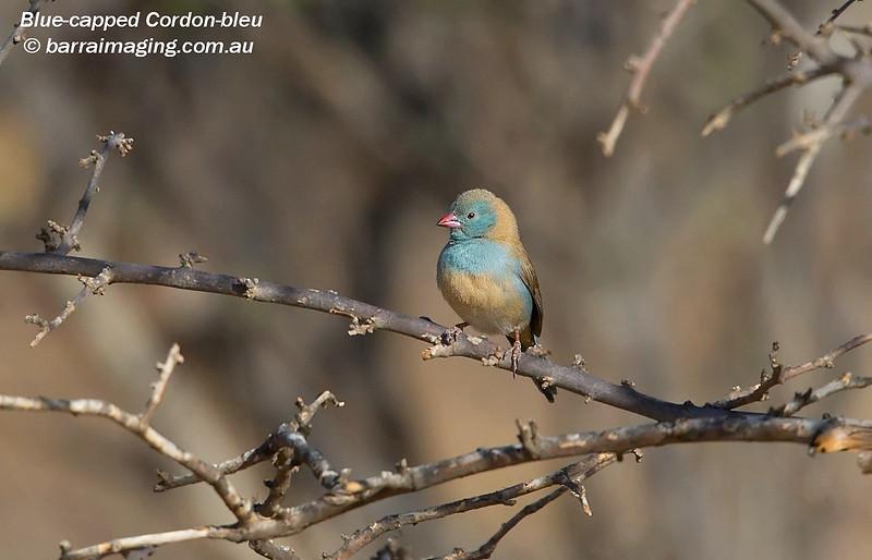 Blue-capped Cordon-bleu
