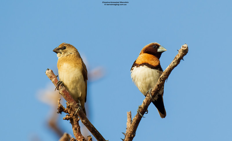 Chestnut-breasted Mannikin immature and adult