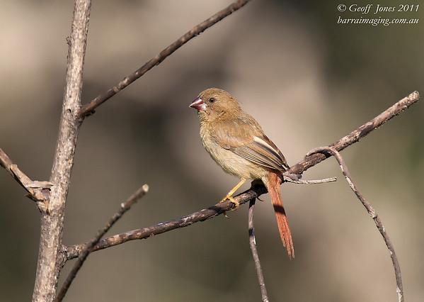Crimson Finch juv