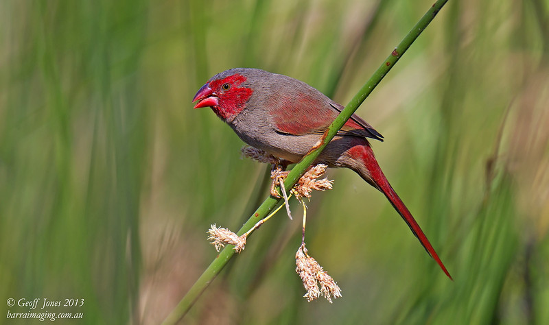 Crimson Finch female
