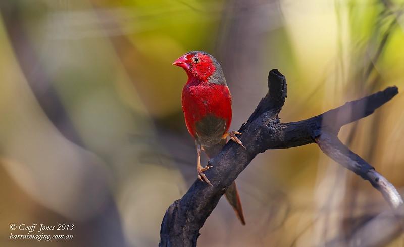 Crimson Finch male