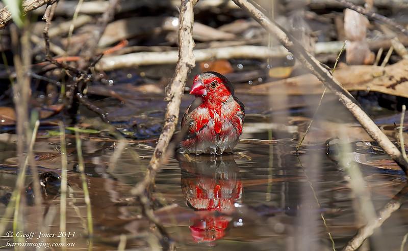 Crimson Finch imm male