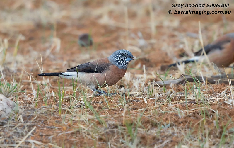 Grey-headed Silverbill