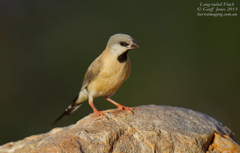 Long-tailed Finch imm