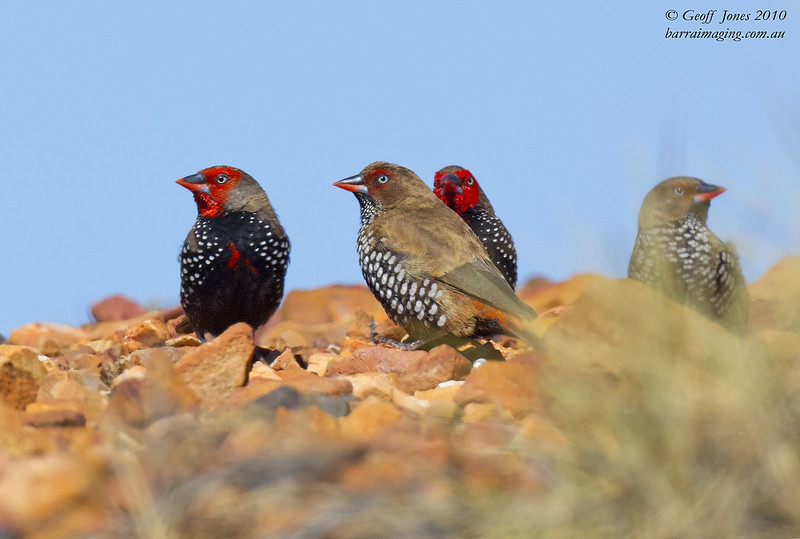 Painted Finch male & female