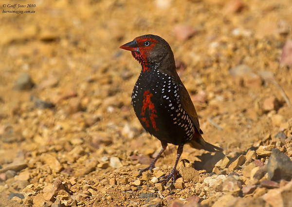 Painted Finch male