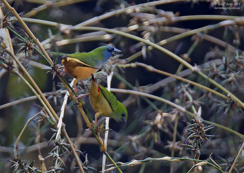 Pin-tailed Parrot-Finch