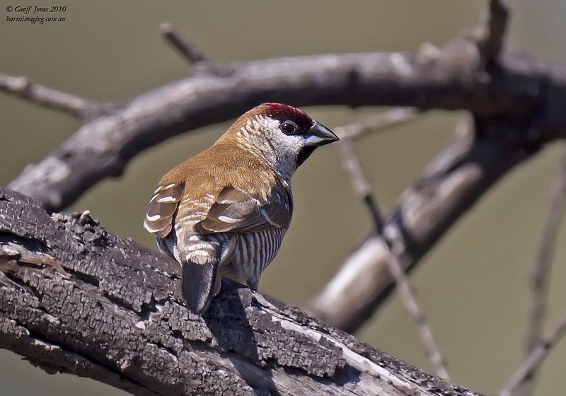 Plum-headed Finch male