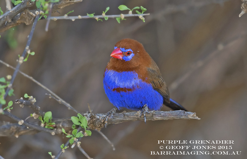 Purple Grenadier male