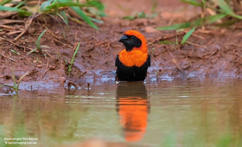 Black-winged Red Bishop male breeding plumage