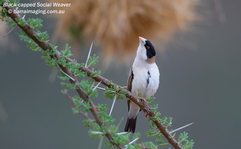 Black-capped Social Weaver
