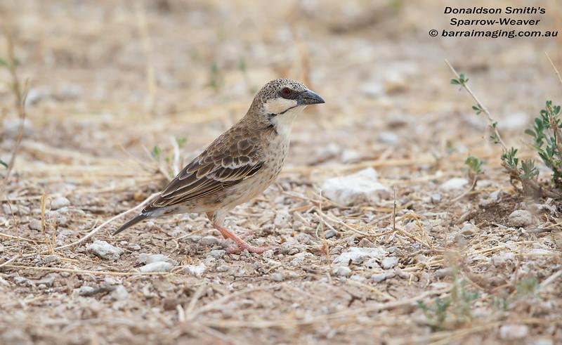 Donaldson Smith's Sparrow-Weaver