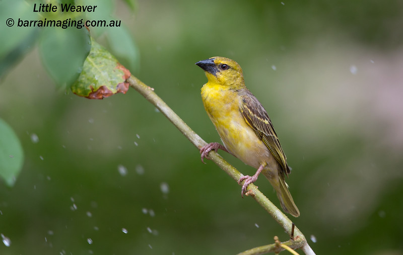 Little Weaver