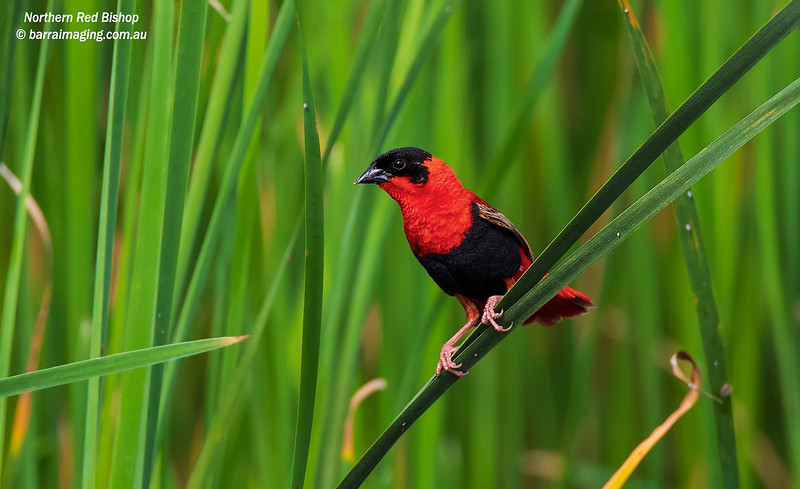 Northern Red Bishop breeding plumage