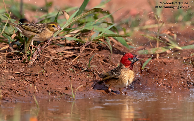 Red-headed Quelea female & male