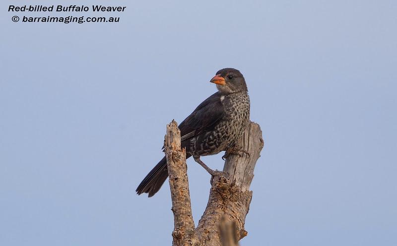 Red-billed Buffalo Weaver