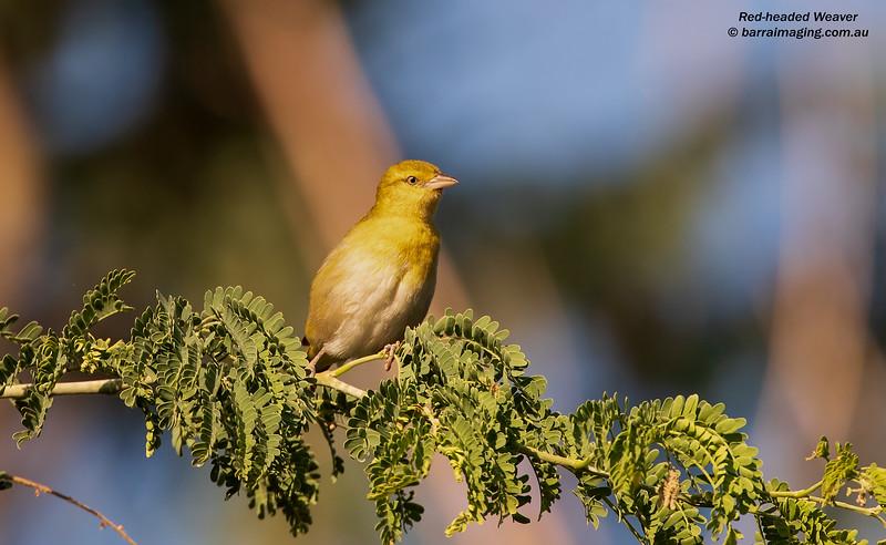 Red-headed Weaver female