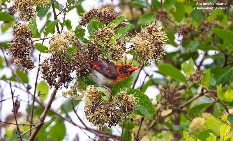 Red-headed Weaver male