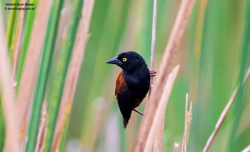 Vielliot's Black Weaver male