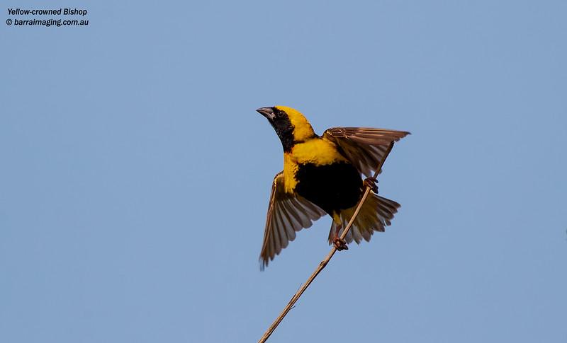 Yellow-crowned Bishop male breeding plumage