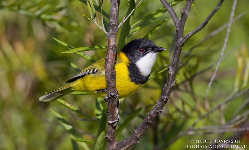 Australian Golden Whistler male