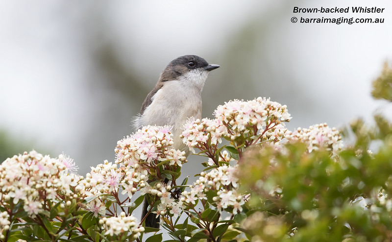 Brown-backed Whistler