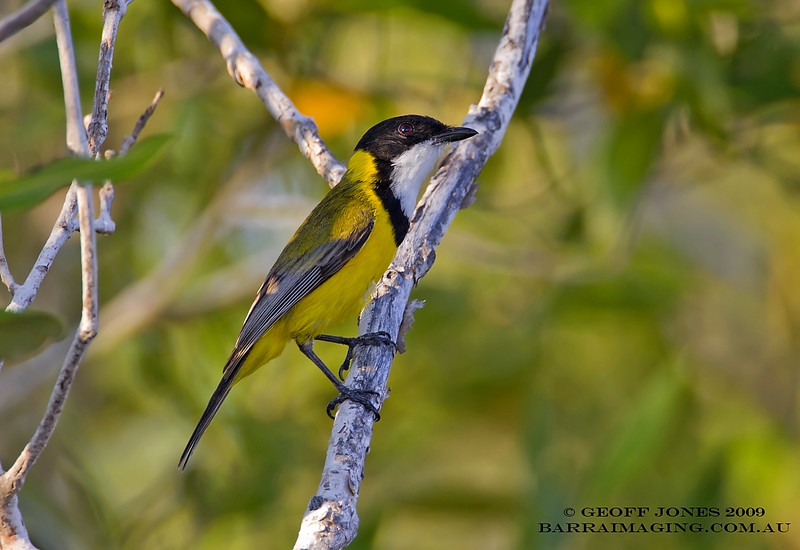 Mangrove Golden Whistler male