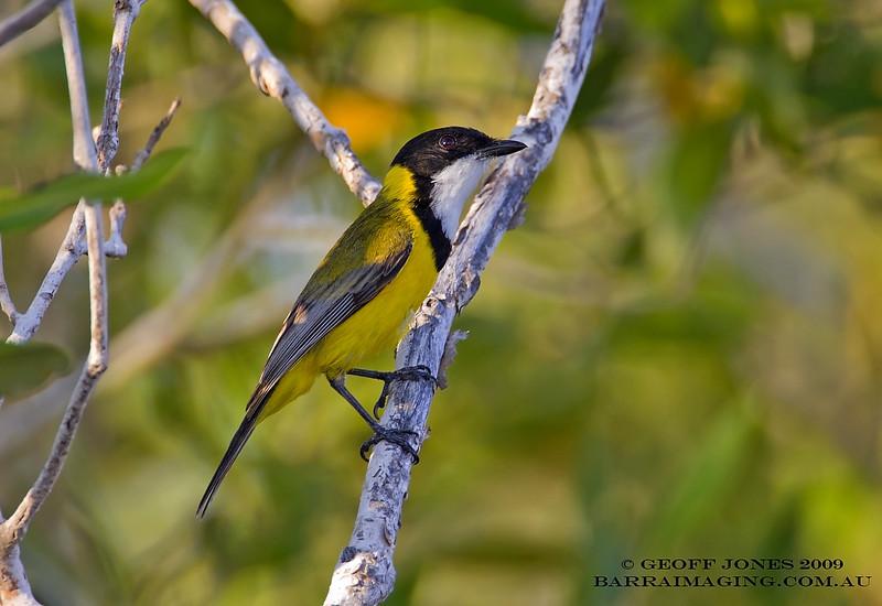 Mangrove Golden Whistler male