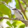 Mangrove Whistler Pachycephala cinerea Ban Bang Phat Thailand May 2012 TH-MAWH-01