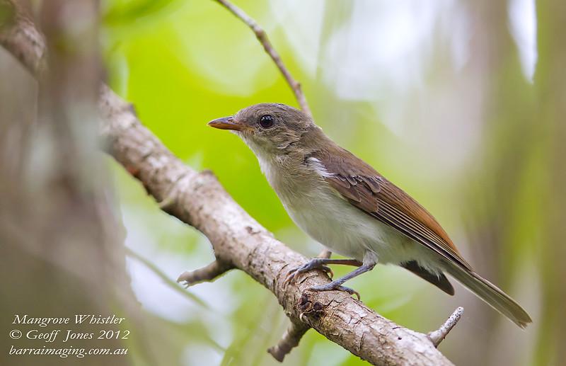 Mangrove Whistler immature Pachycephala cinerea Ban Bang Phat Thailand May 2012 TH-MAWH-13
