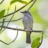 Mangrove Whistler Pachycephala cinerea Ban Bang Phat Thailand May 2012 TH-MAWH-02
