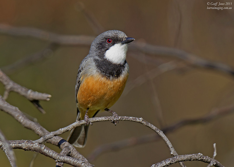 Rufous Whistler male