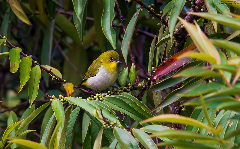 Papuan White-eye