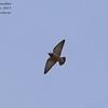Ashy Woodswallow Artamus fuscus Military Ponds Thailand Jan 2011 TH-ASWS-02