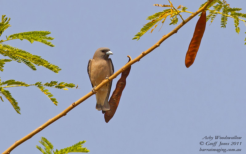 Ashy Woodswallow Artamus fuscus Military Ponds Thailand Jan 2011 TH-ASWS-01