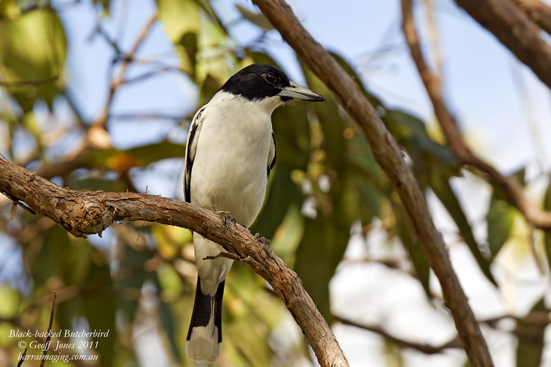 Black-backed Butcherbird