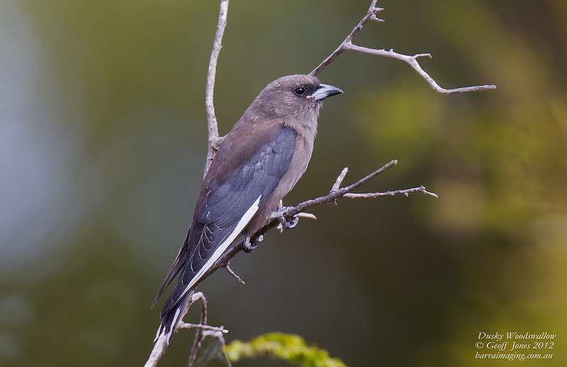 Dusky Woodswallow immature