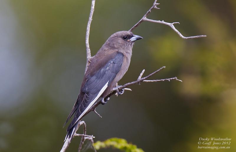Dusky Woodswallow immature