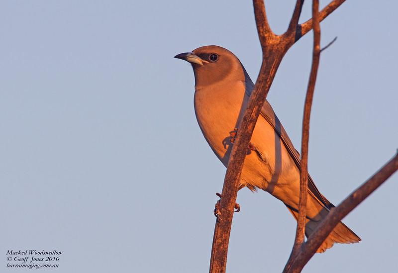 Masked Woodswallow female