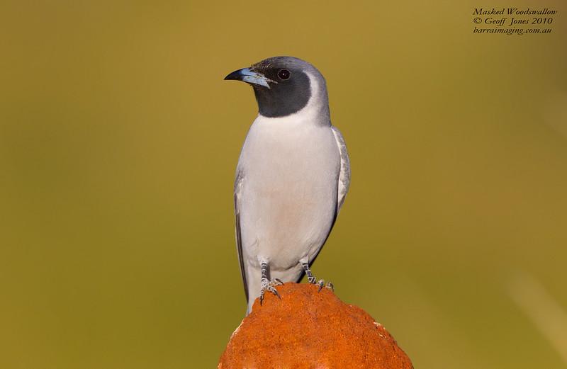 Masked Woodswallow male